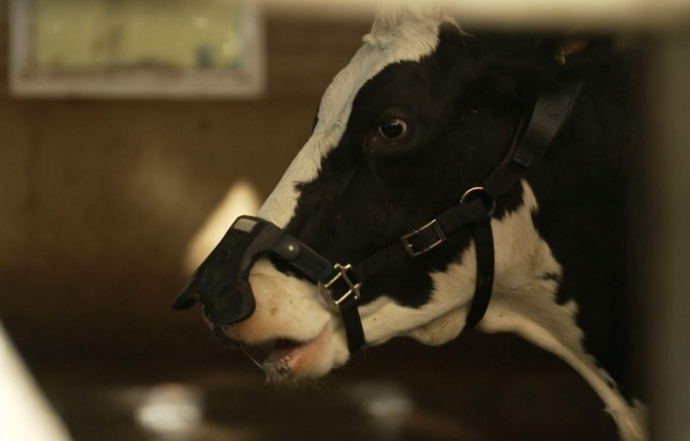 Bild zu Kuh