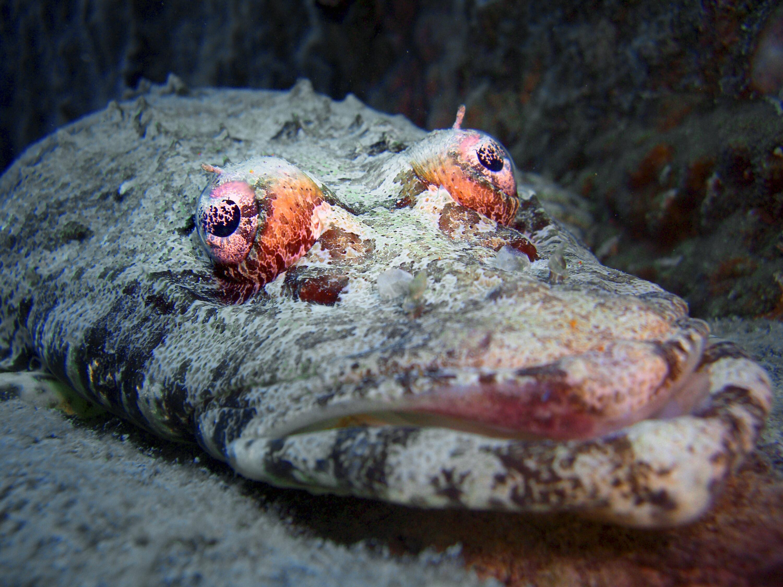 Bild zu Krokodilsfisch