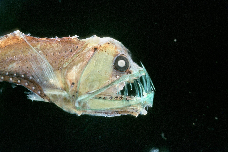 Bild zu Viperfisch