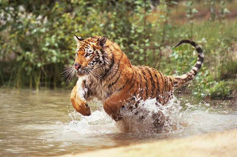Bild zu Königstiger