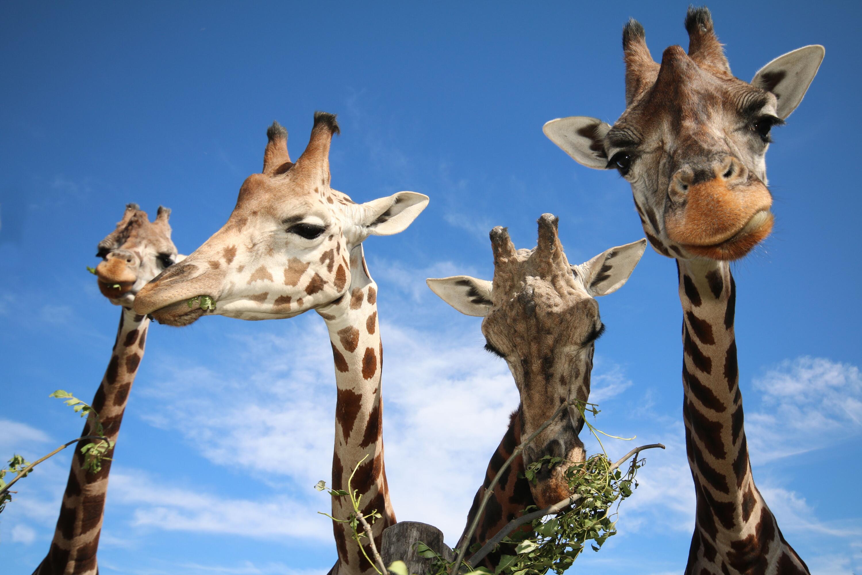 Bild zu Giraffen im Tiergarten Schönbrunn
