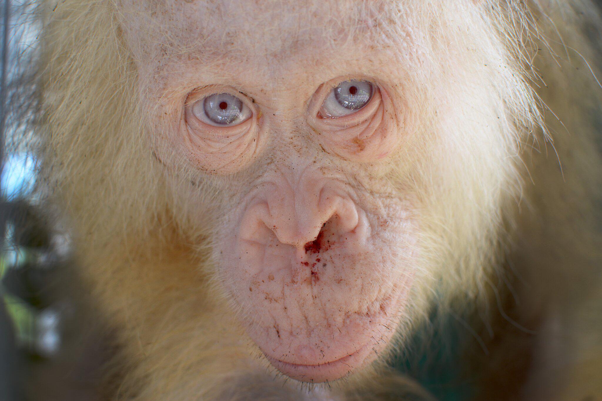 Bild zu Albino Orang-Utan auf Borneo gefunden