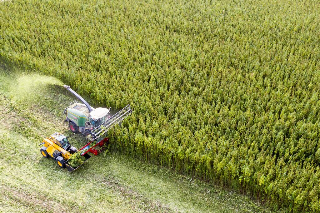 Cannabis harvest in Saxony