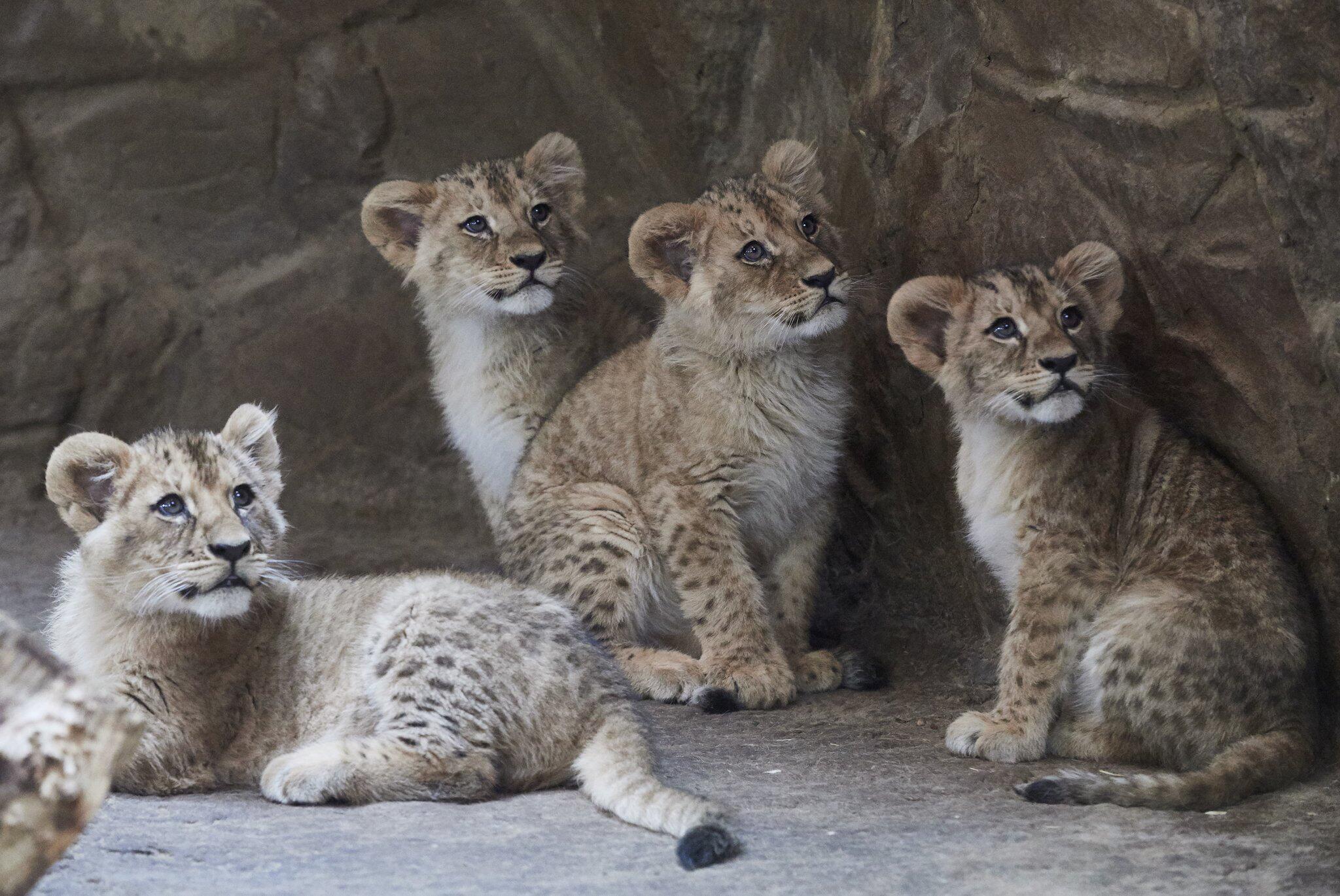 Bild zu Löwenbabys im Zoo von Danzig