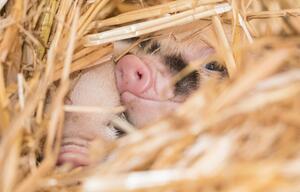 Mini-Pigs im Zoo Basel geboren