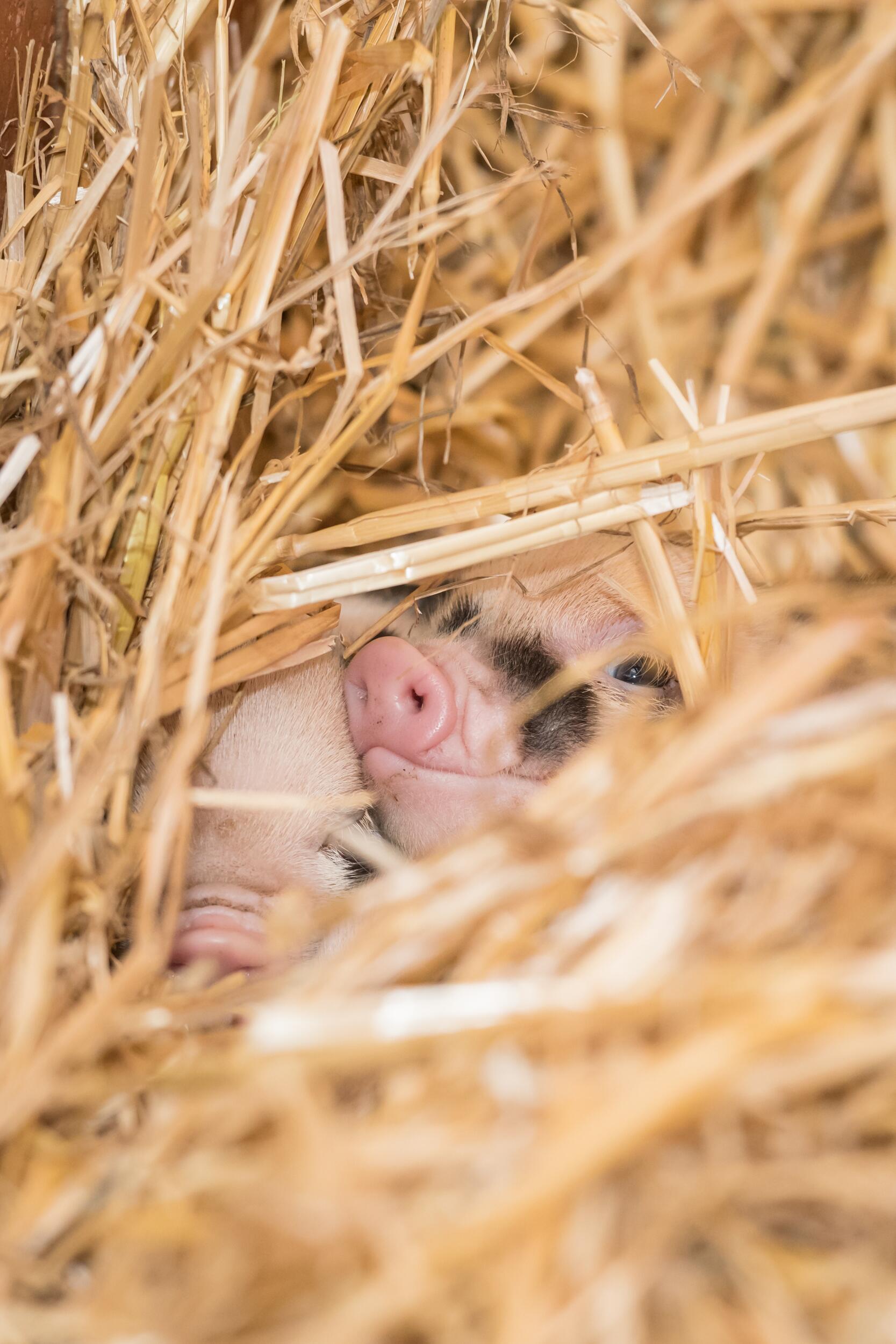 Bild zu Mini-Pigs im Zoo Basel geboren