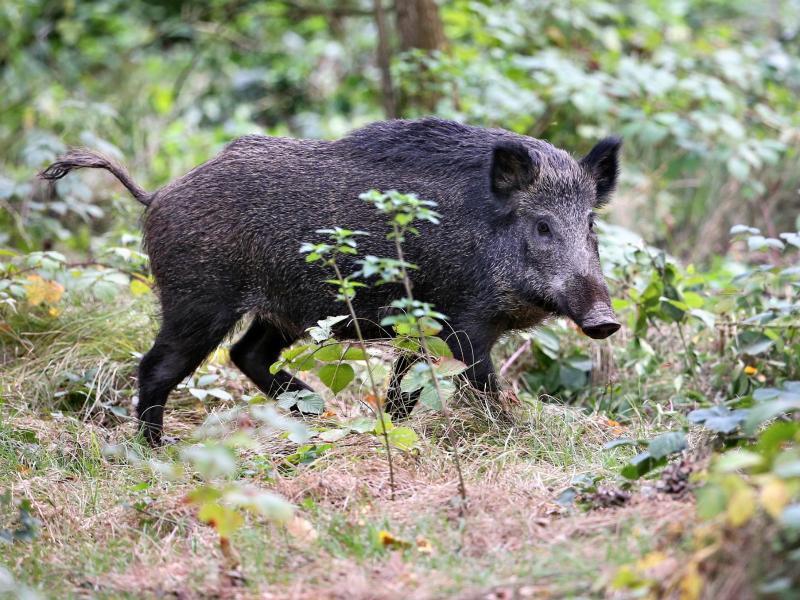 Bild zu Zwei Wildschweine stehen im Wald