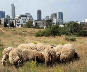 Schafe sollen Tel Aviv zu blühen bringen