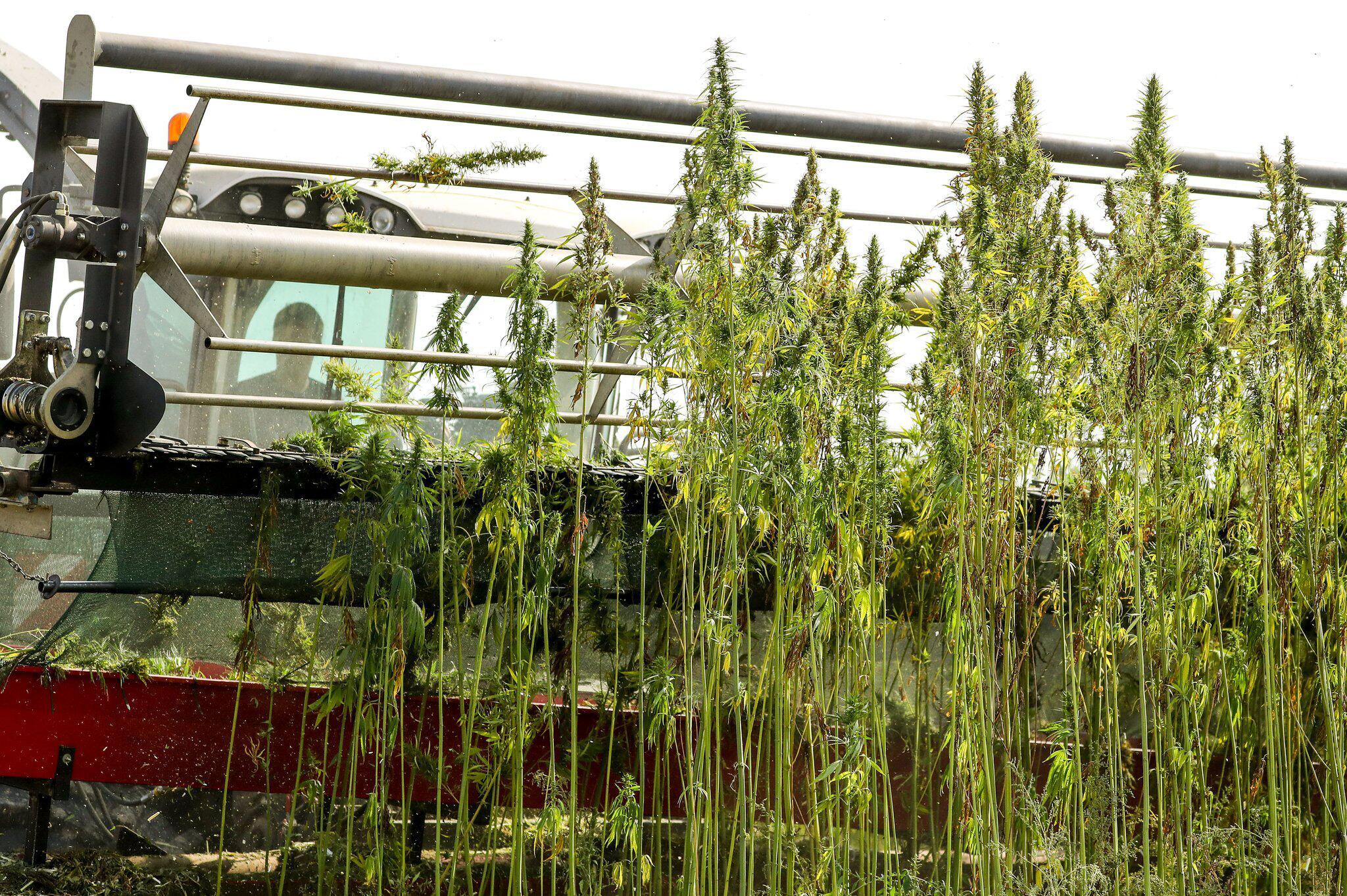 Выращивание марихуаны в промышленных вышел ежик из тумана покурил марихуану