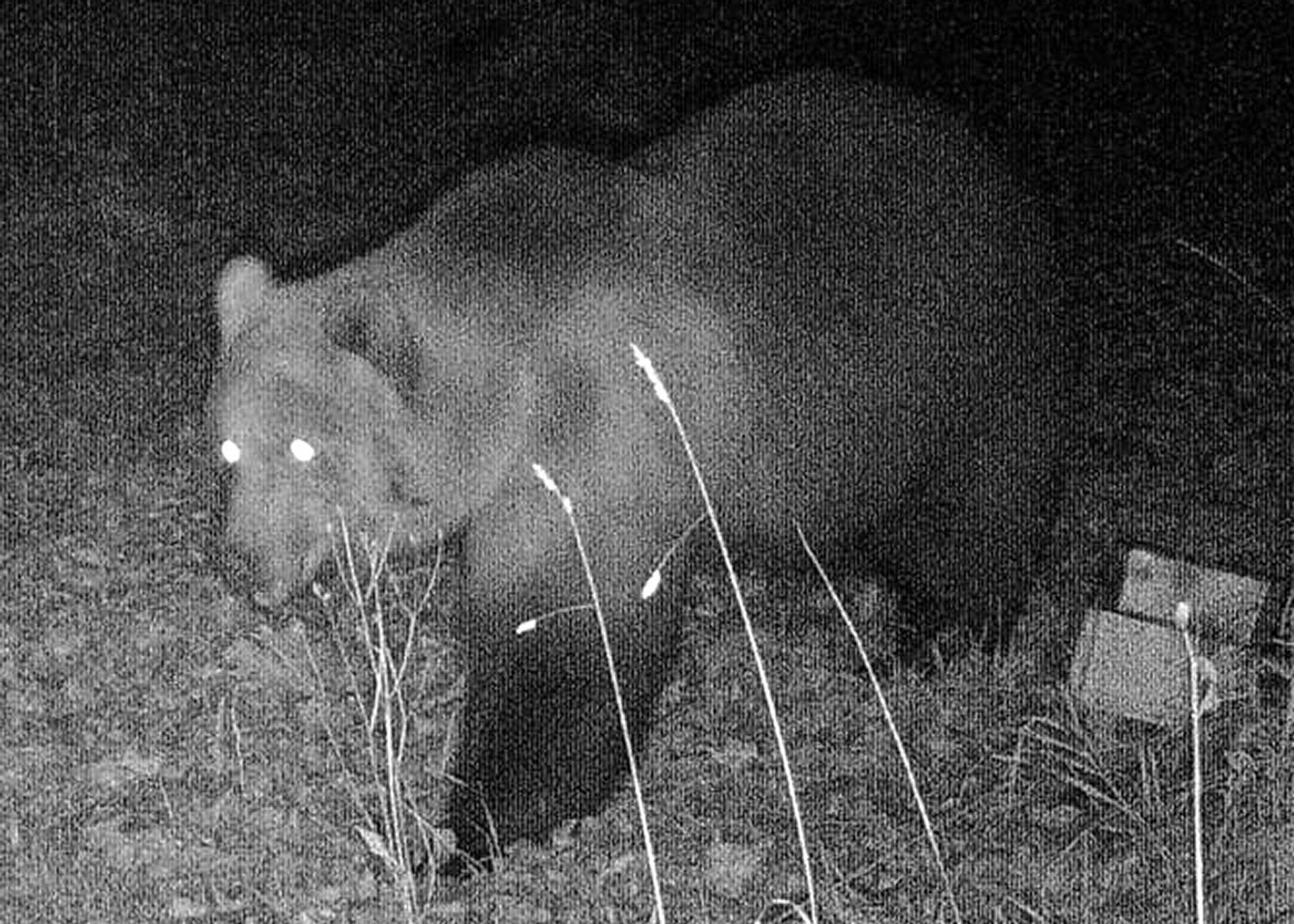 Bild zu Wildtierkamera dokumentiert einen Bären in Bayern