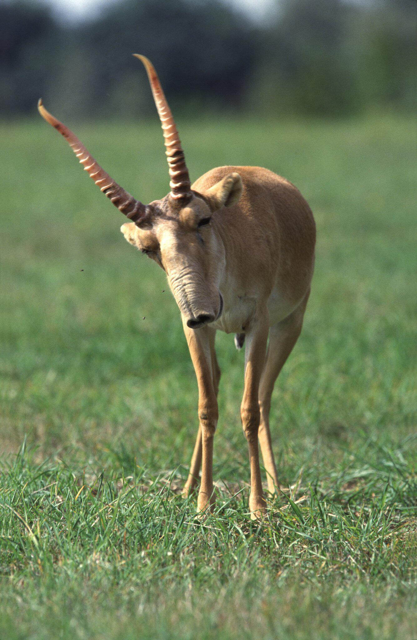 Bild zu Saiga-Antilope