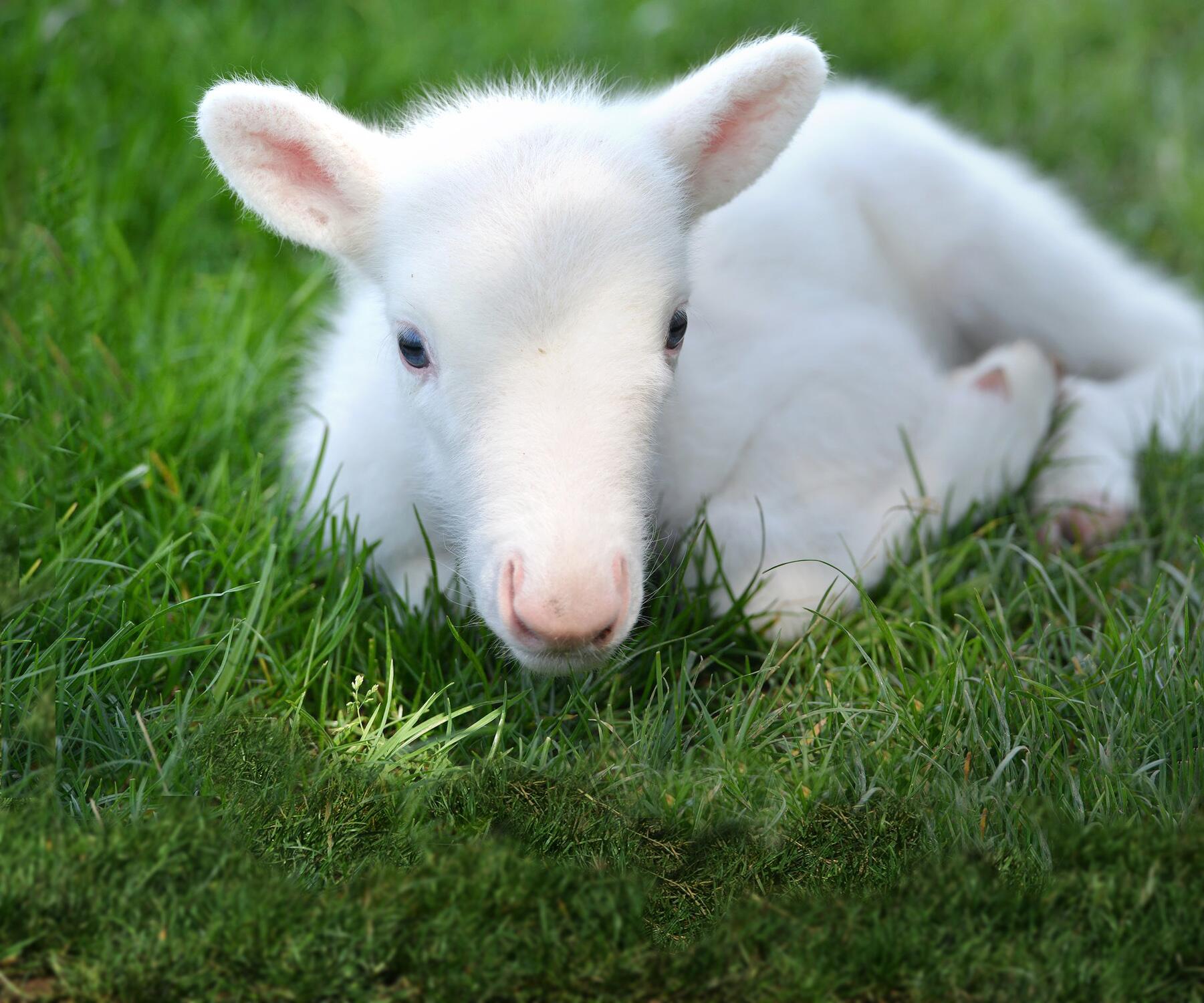 Bild zu Weißes Rentierbaby geboren
