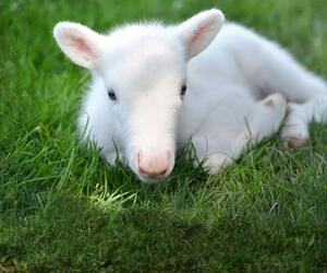 Weißes Rentierbaby geboren