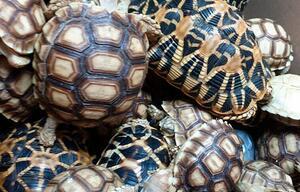 Schildkrötenschmuggel in Manila