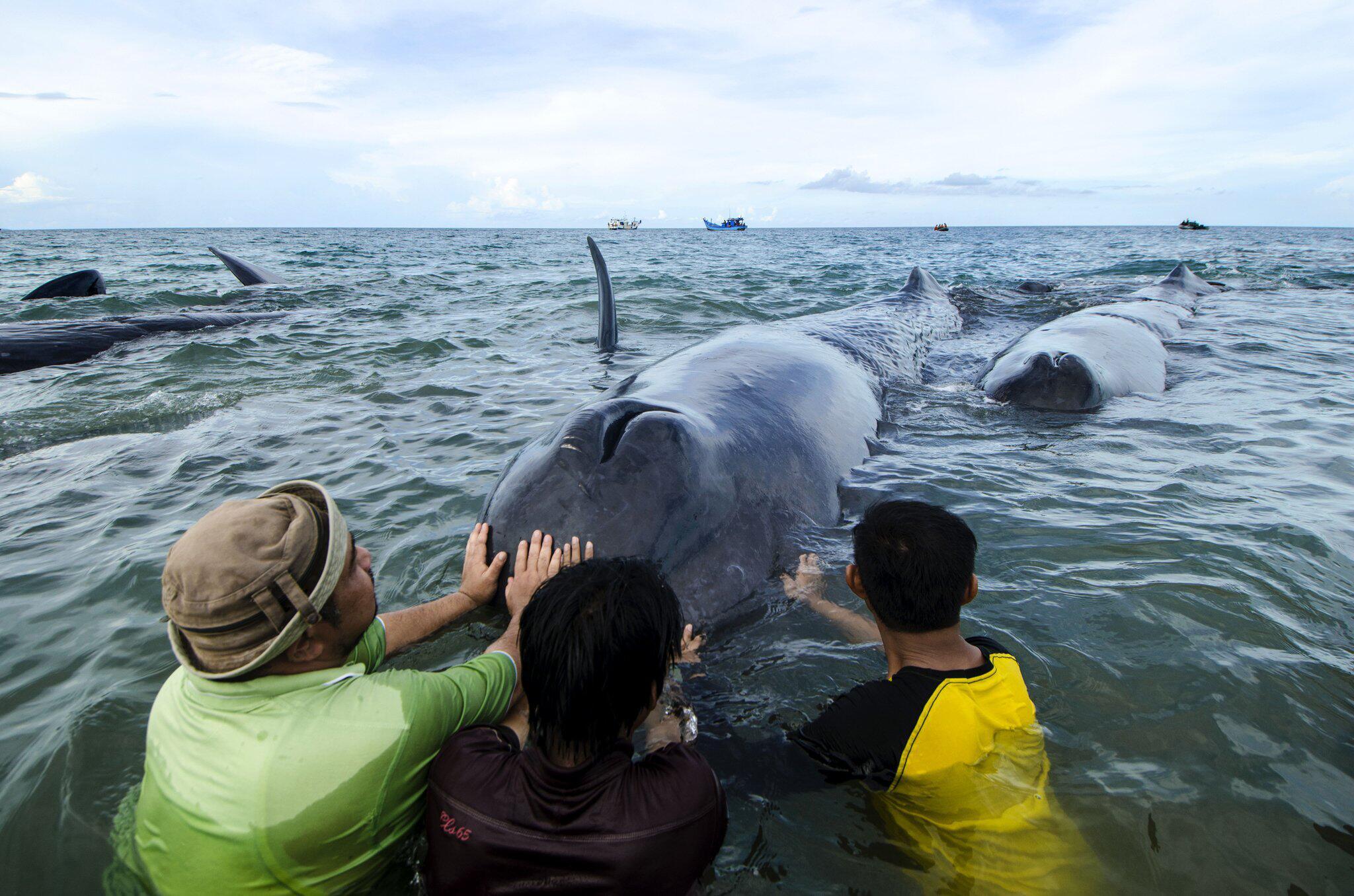 Bild zu Gestrandete Wale in Indonesien