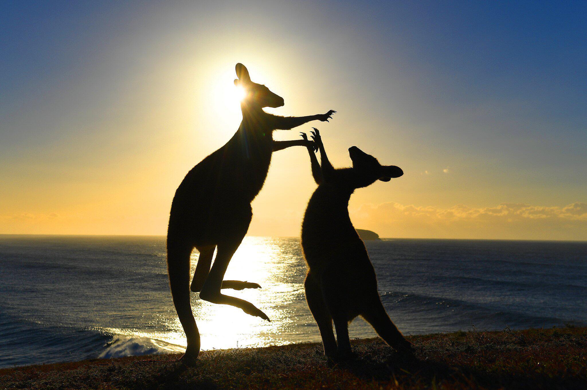 Bild zu Kängurus zu Tierfutter