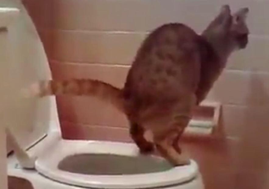Bild zu Katze benutzt die Toilette