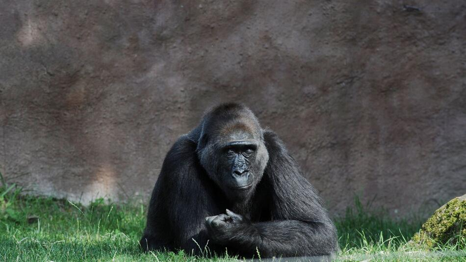 Gorillamännchen Riuchard im Prager Zoo mit Coronavirus infiziert