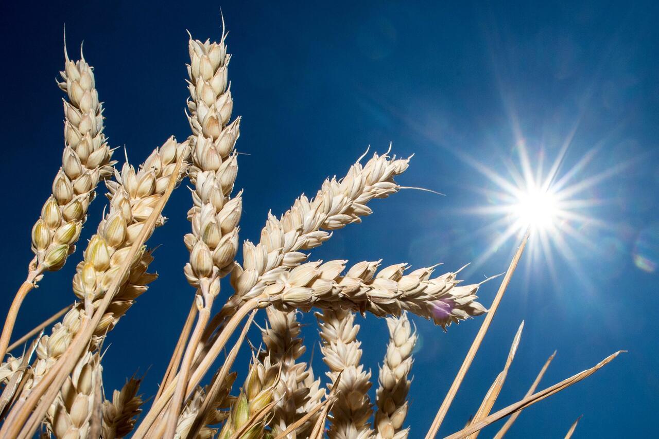 Bild zu Trockenheit auf Feldern in Niedersachsen