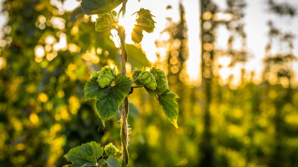 Hopfen, Malz, Hopfendolden, Bier, Arzneipflanze, Bierbrauen, Tag des bieres, wirkung