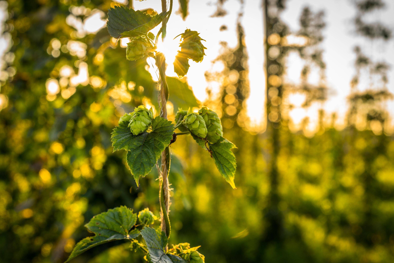 Bild zu Hopfen, Malz, Hopfendolden, Bier, Arzneipflanze, Bierbrauen, Tag des bieres, wirkung