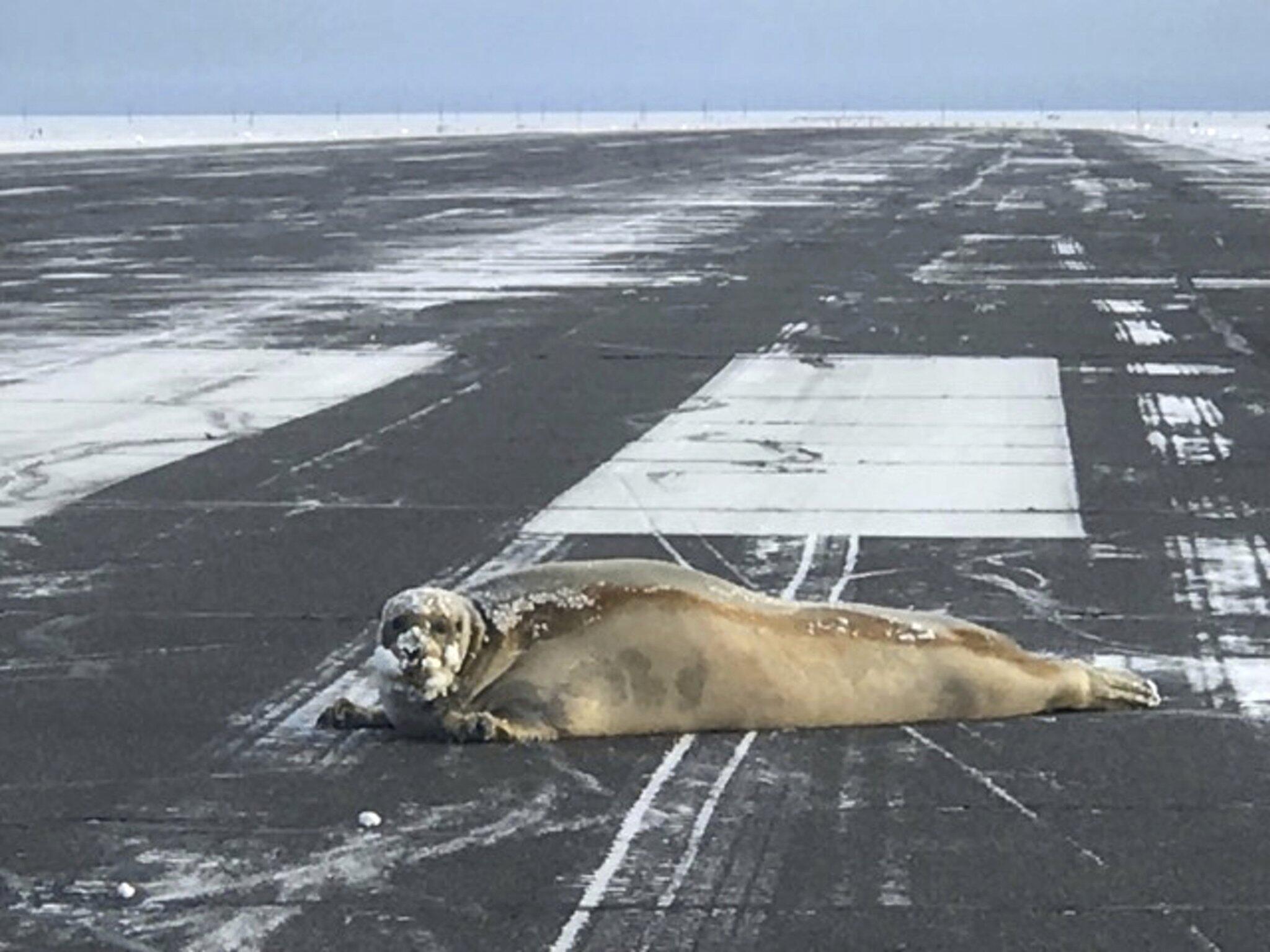 Bild zu Robbe, Alaska