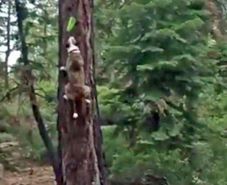 Bild zu BeeindruckendHund laeuft senkrecht an Baumstamm hoch