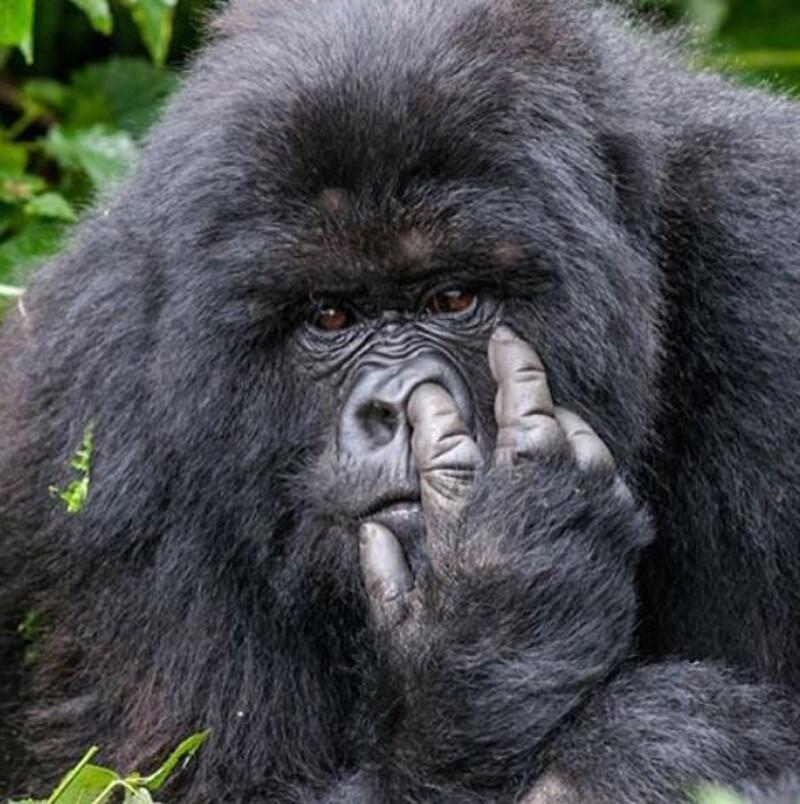 Bild zu Gorilla, popeln, unbeobachtet