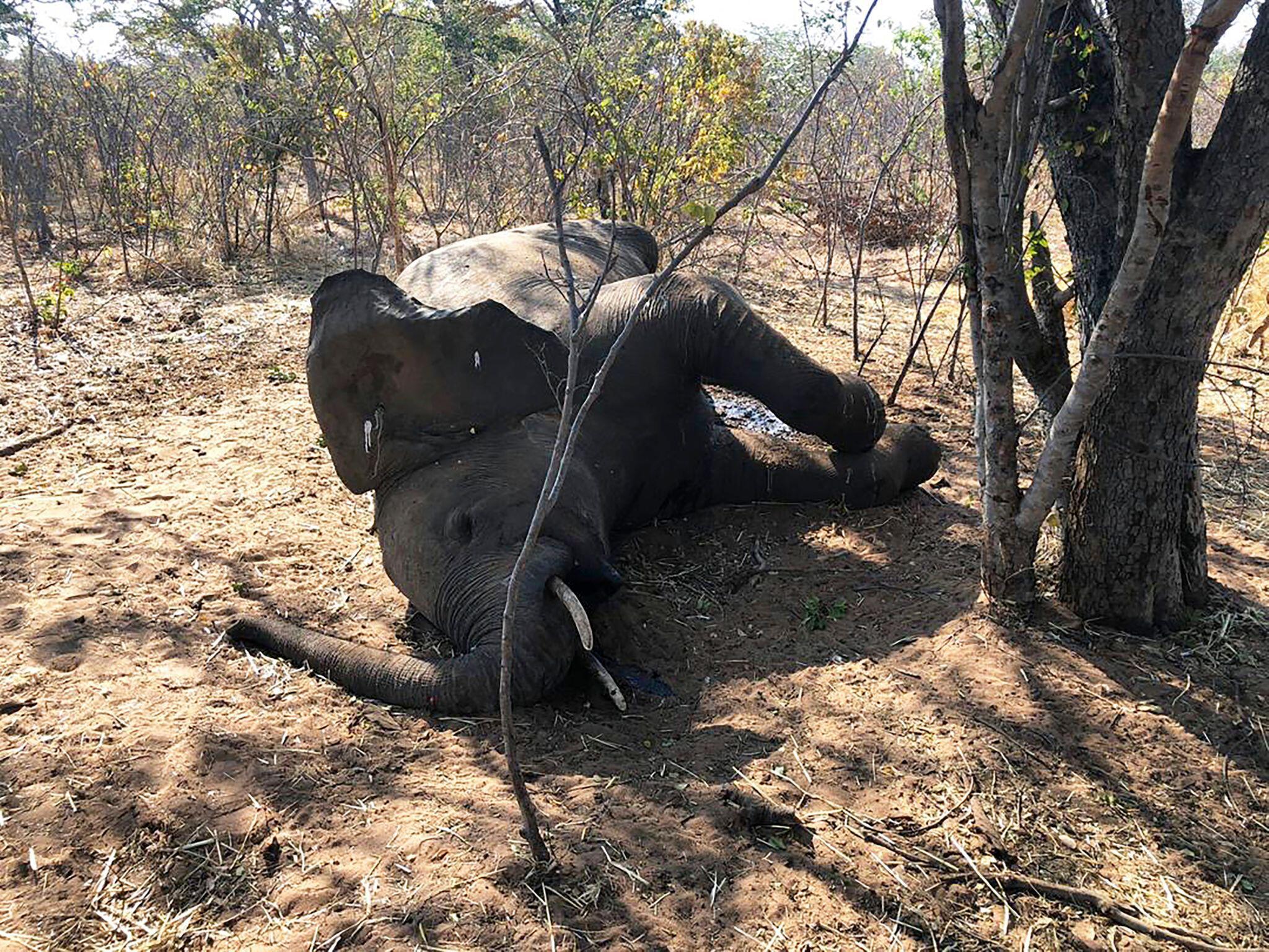 Bild zu Weitere verendete Elefanten in Simbabwe gefunden