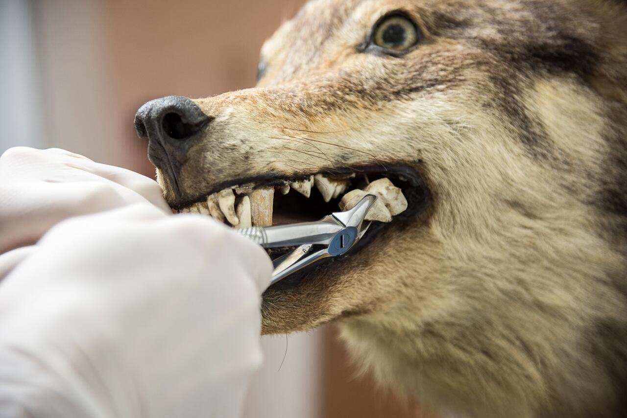 Bild zu Zahn eines Wolf-Präparats genetisch untersucht