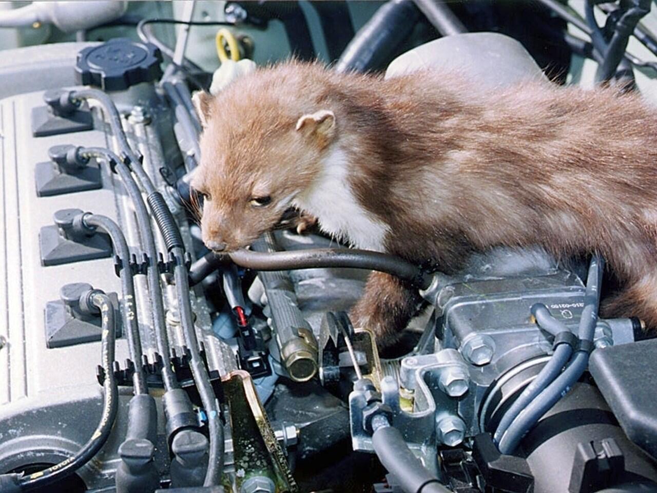 Bild zu Marderschäden am Auto: Nicht nur ärgerlich und teuer, sondern auch gefährlich