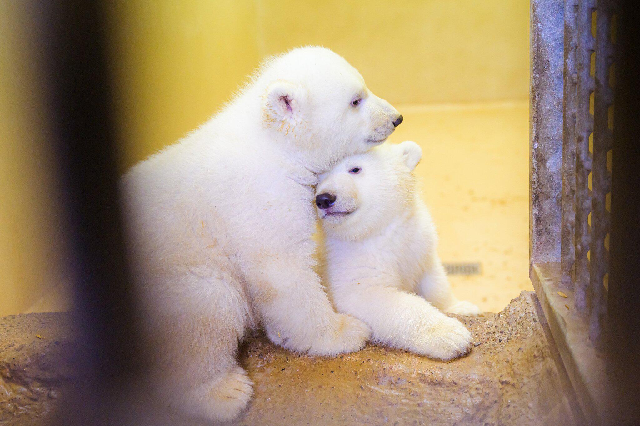 Bild zu Eisbären-Nachwuchs im Zoo am Meer