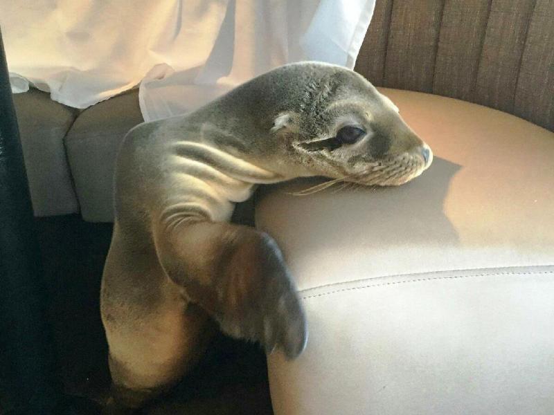 Bild zu Hungriges Seelöwenbaby verirrt sich in Luxusrestaurant