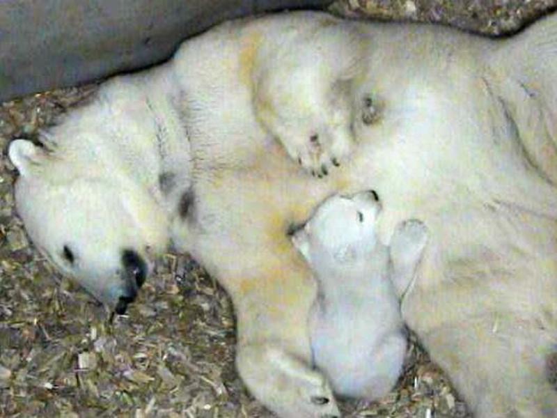 Bild zu Eisbärennachwuchs