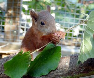Eichhörnchen Pippilotta