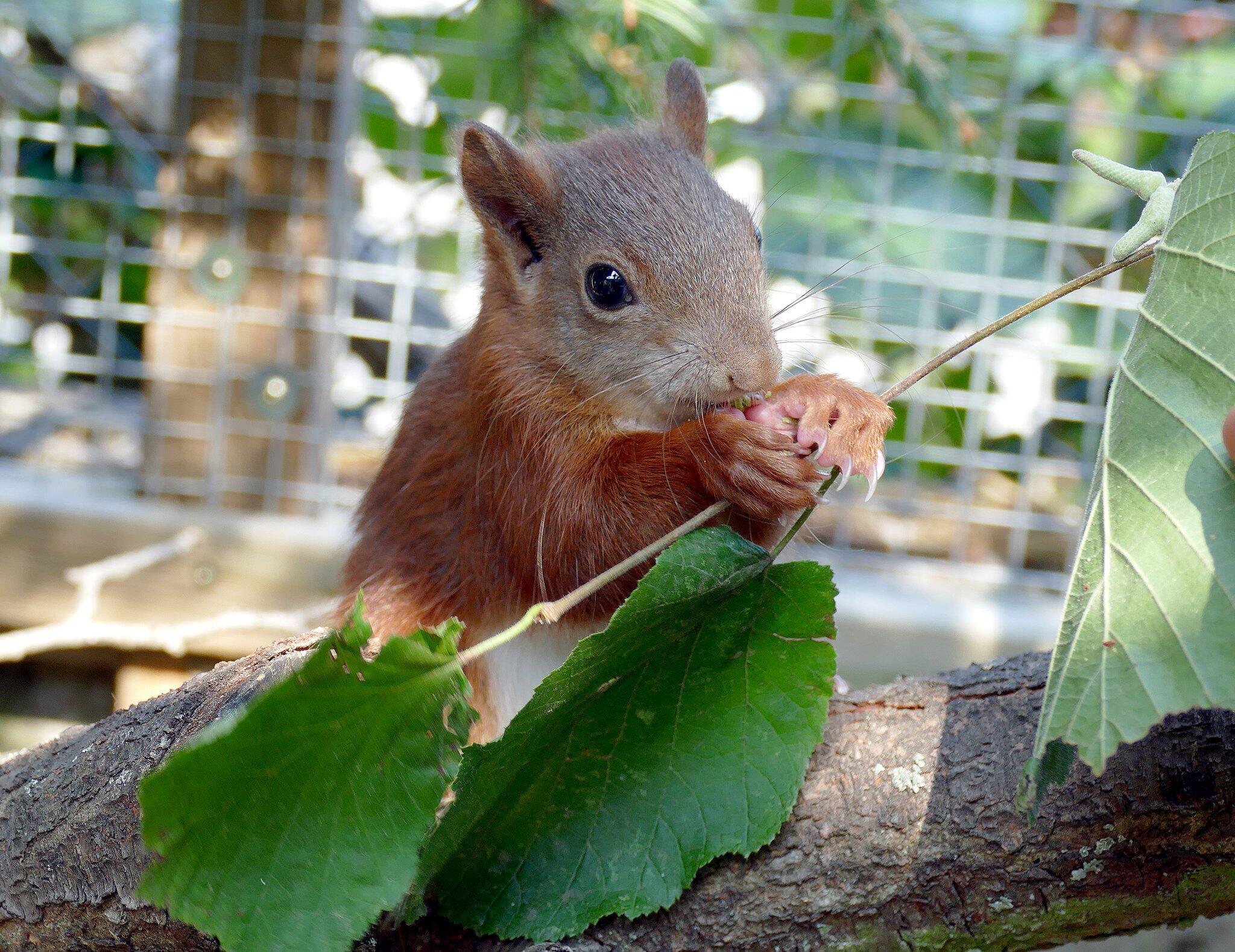 Bild zu Eichhörnchen Pippilotta