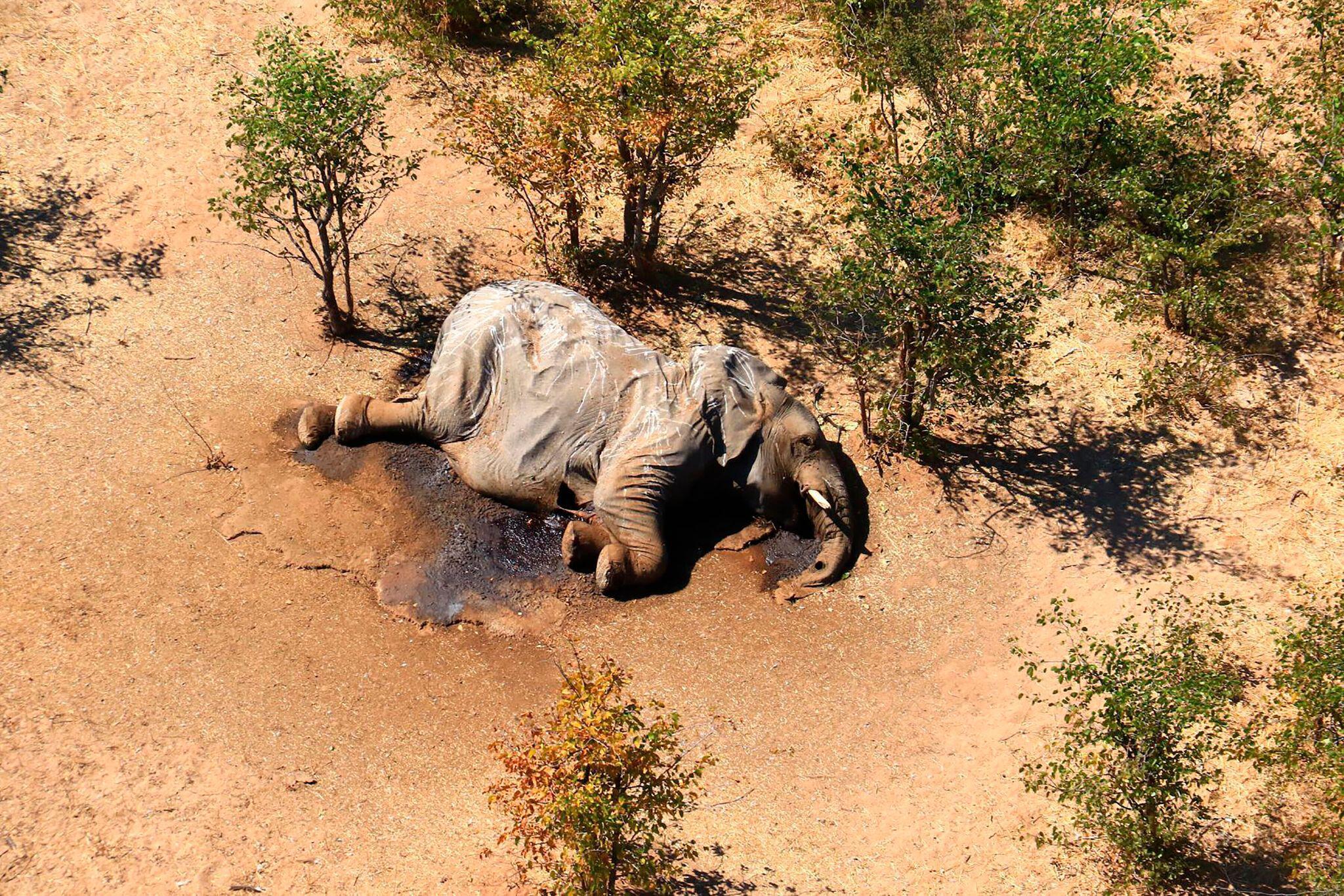 Bild zu Massensterben von Elefanten in Botsuana