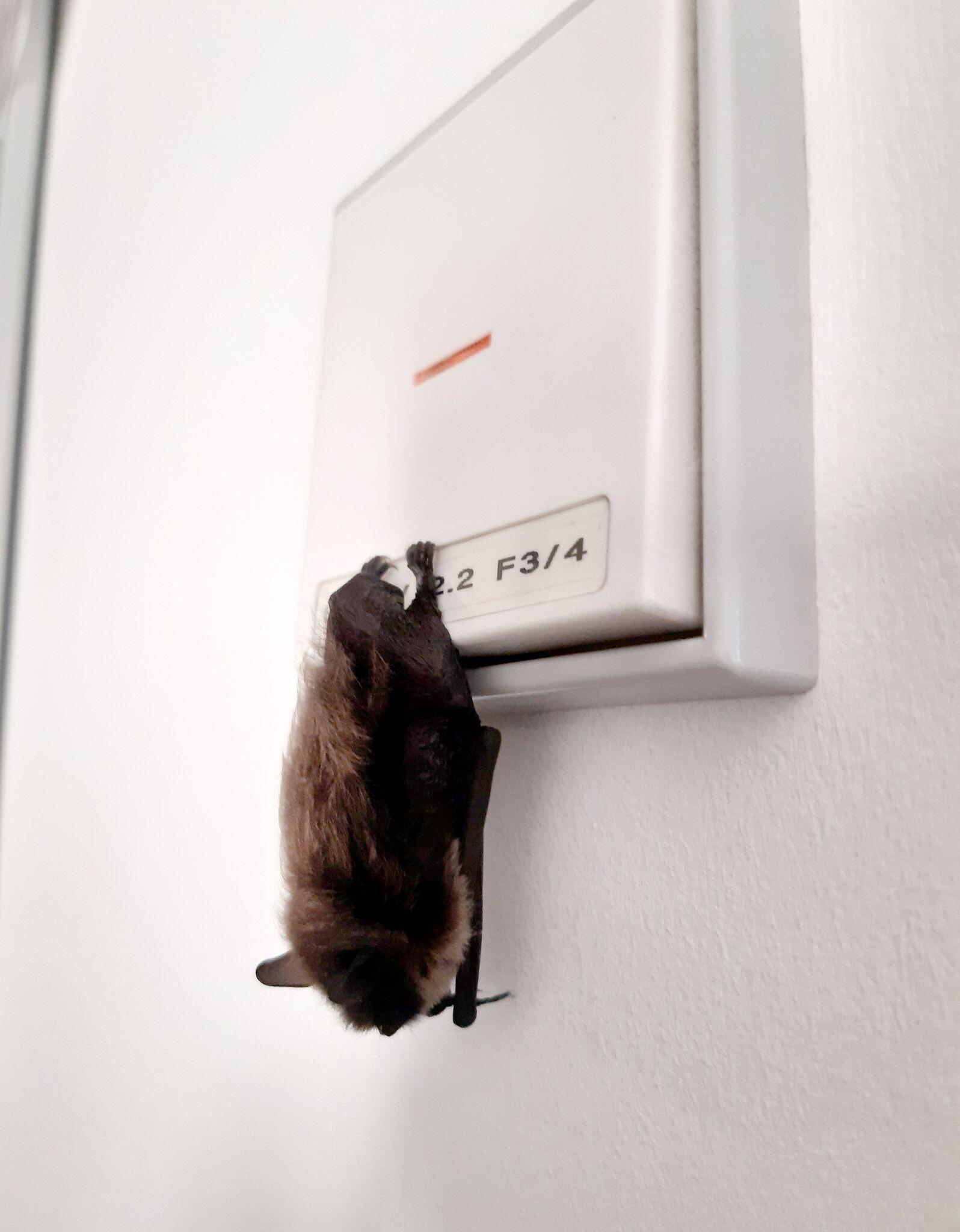 Bild zu Fledermaus verirrt sich in Polizeibüro