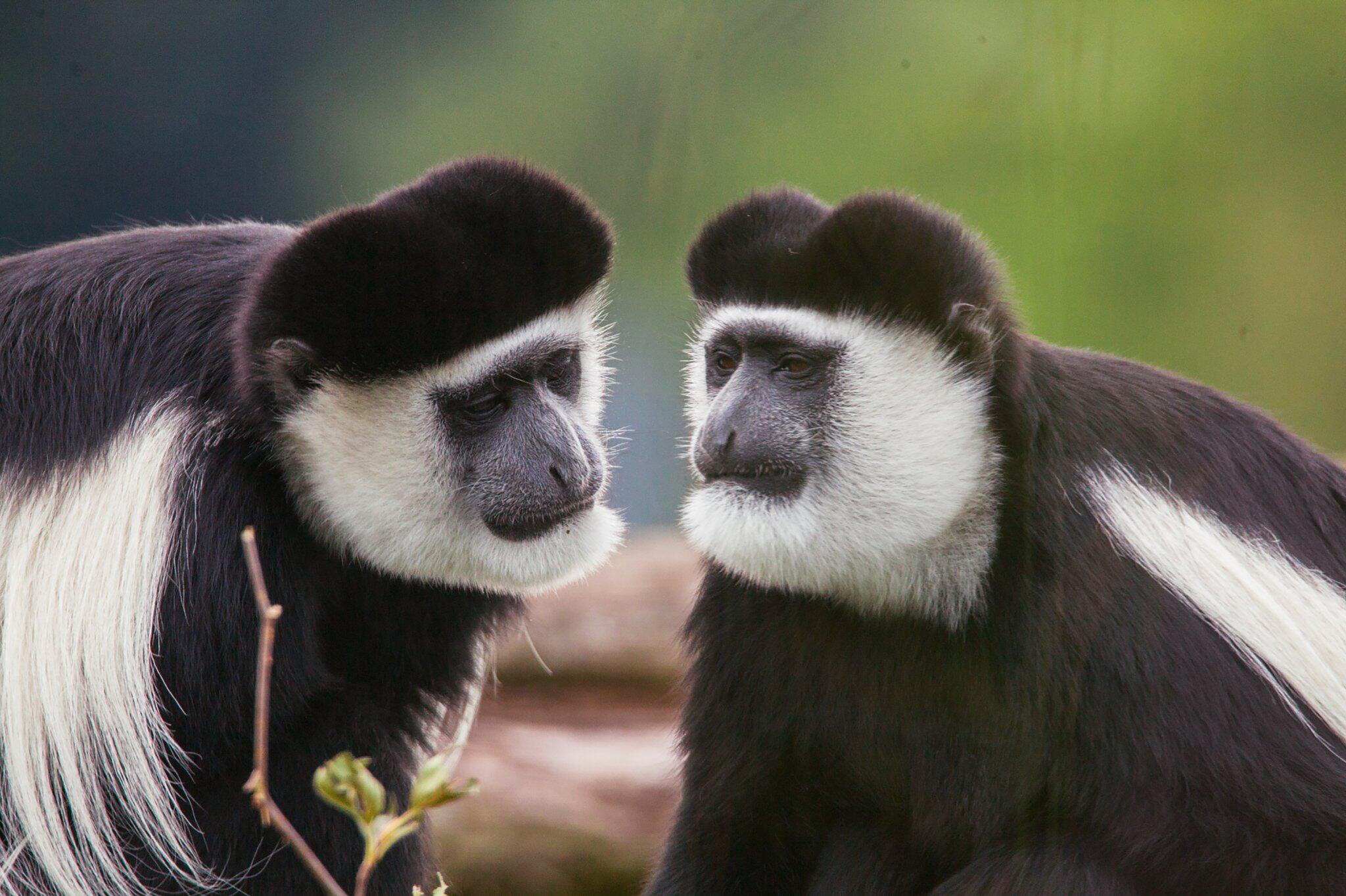 Bild zu Mantelaffen im Zoo Osnabrück entwischt