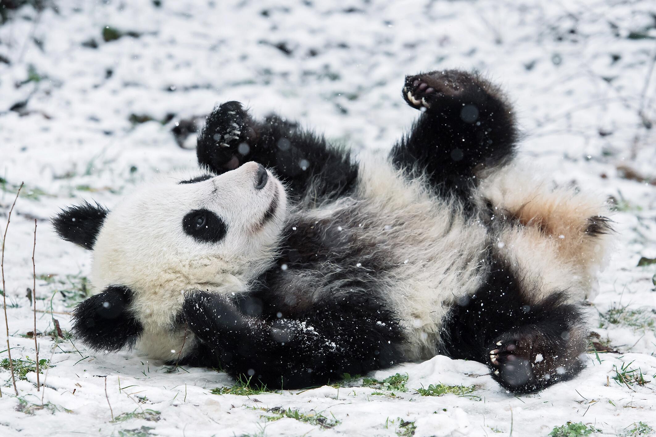 Bild zu Panda-Baby, Schnee, Wien, Tiergarten Schönbrunn