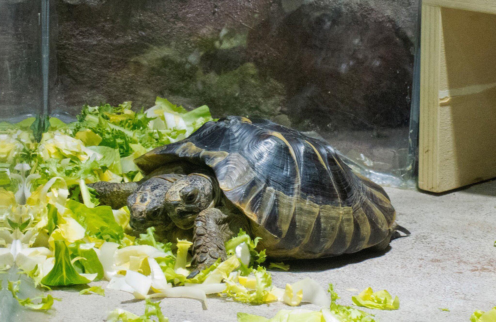 Bild zu Zweiköpfige Schildkröte Janus wird 20