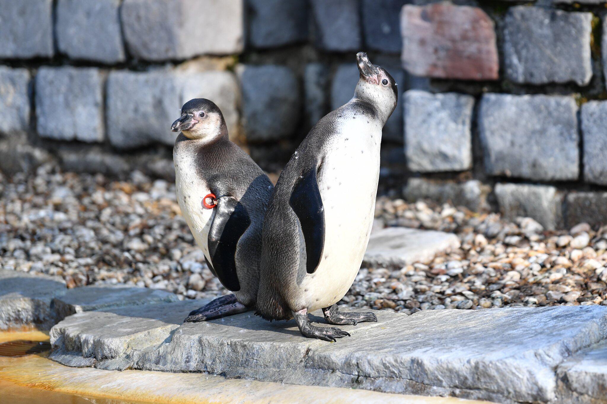 Bild zu Pinguin, Mannheim