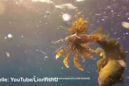 Barsch verschlingt Feuerrotfisch