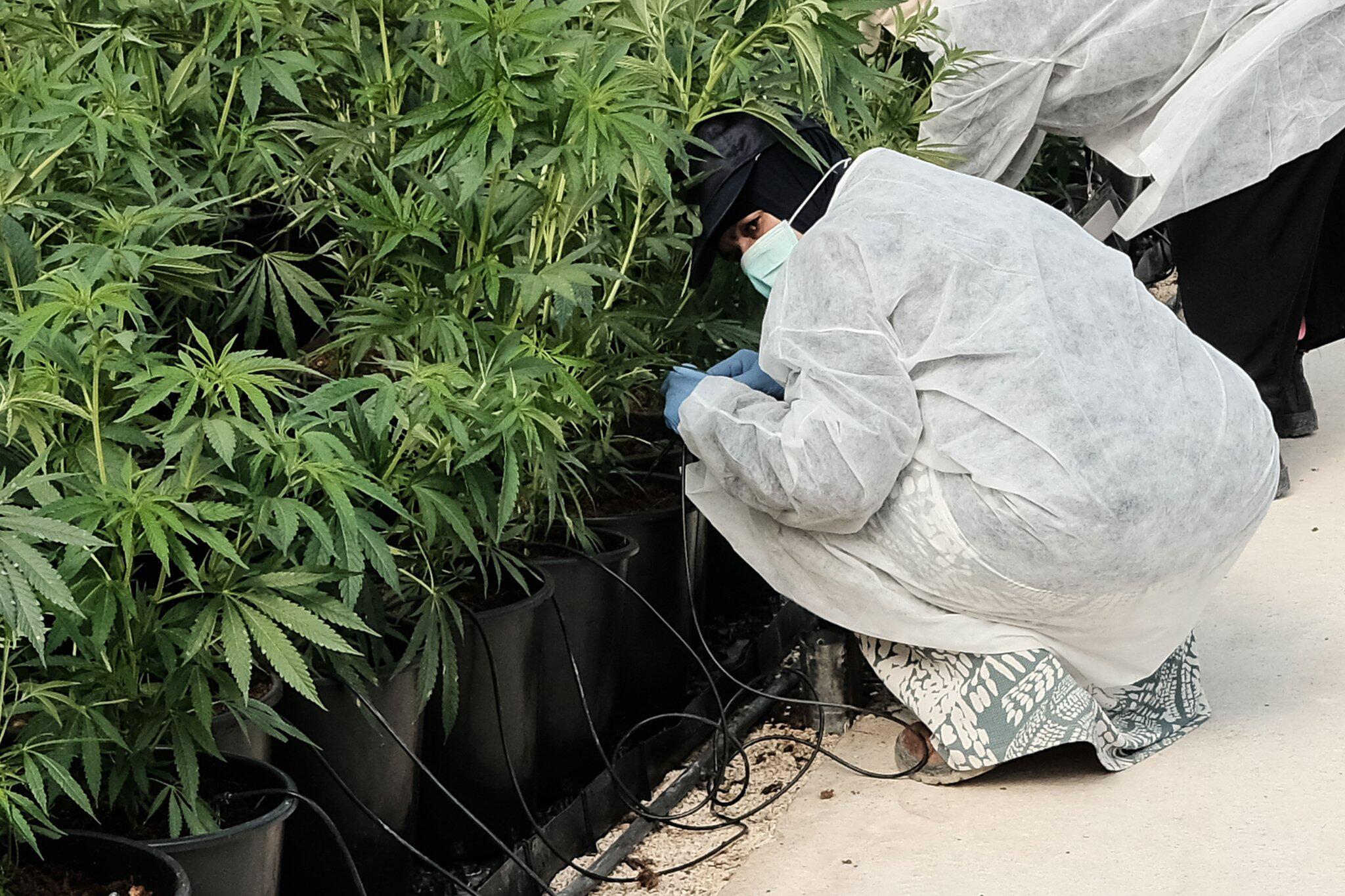 Bild zu Cannabis in Israel