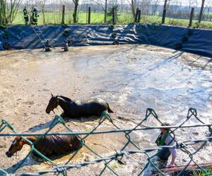 Zwei Pferde stürzten in Güllegrube