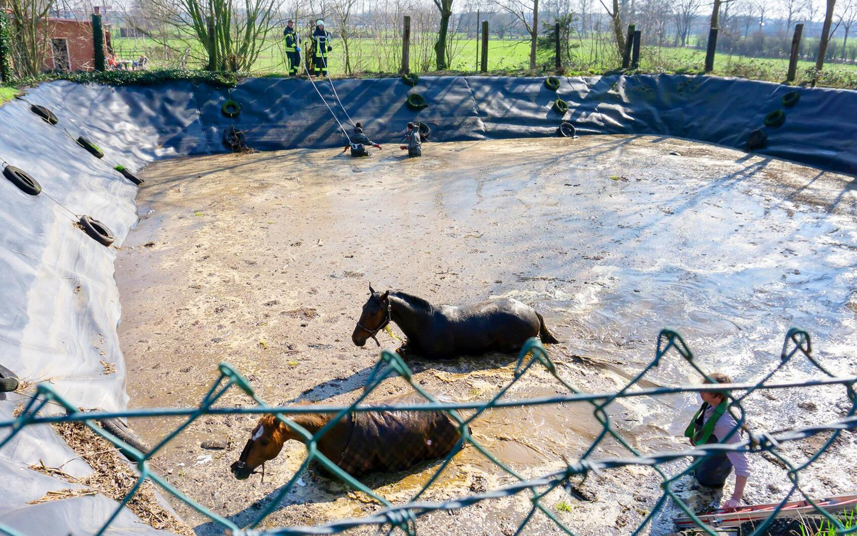 Bild zu Zwei Pferde stürzten in Güllegrube