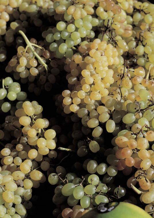 Bild zu Weintrauben