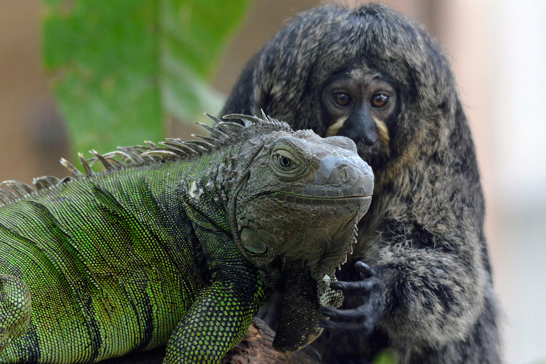 Bild zu Weißkopfsaki-Weibchen und grüner Leguan