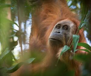 Neue Orang-Utan-Art auf Sumatra entdeckt