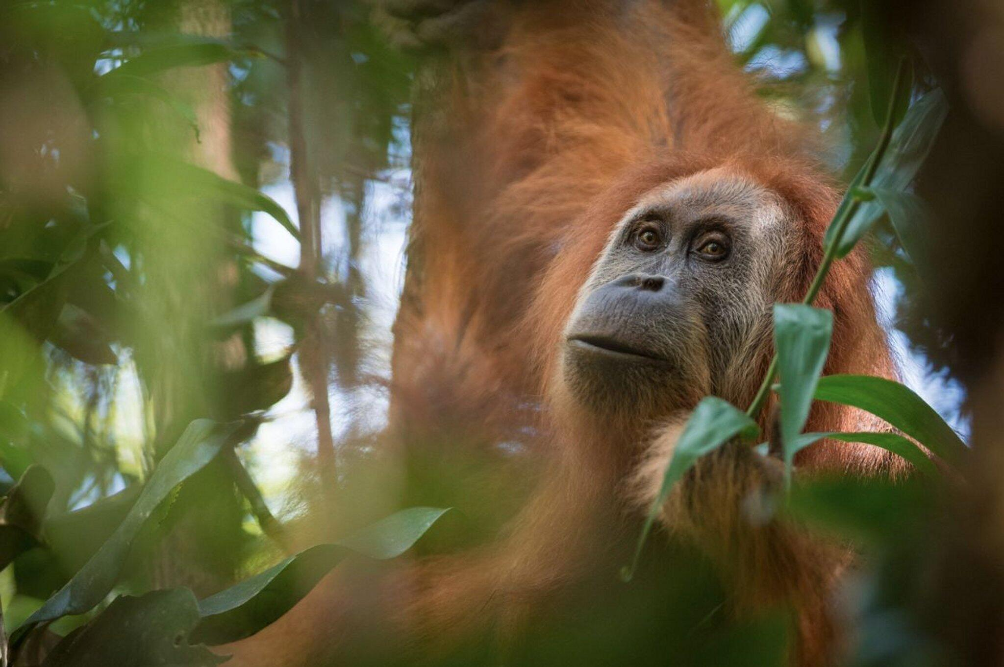 Bild zu Neue Orang-Utan-Art auf Sumatra entdeckt